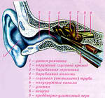 Строение органа слуха. Увеличить.